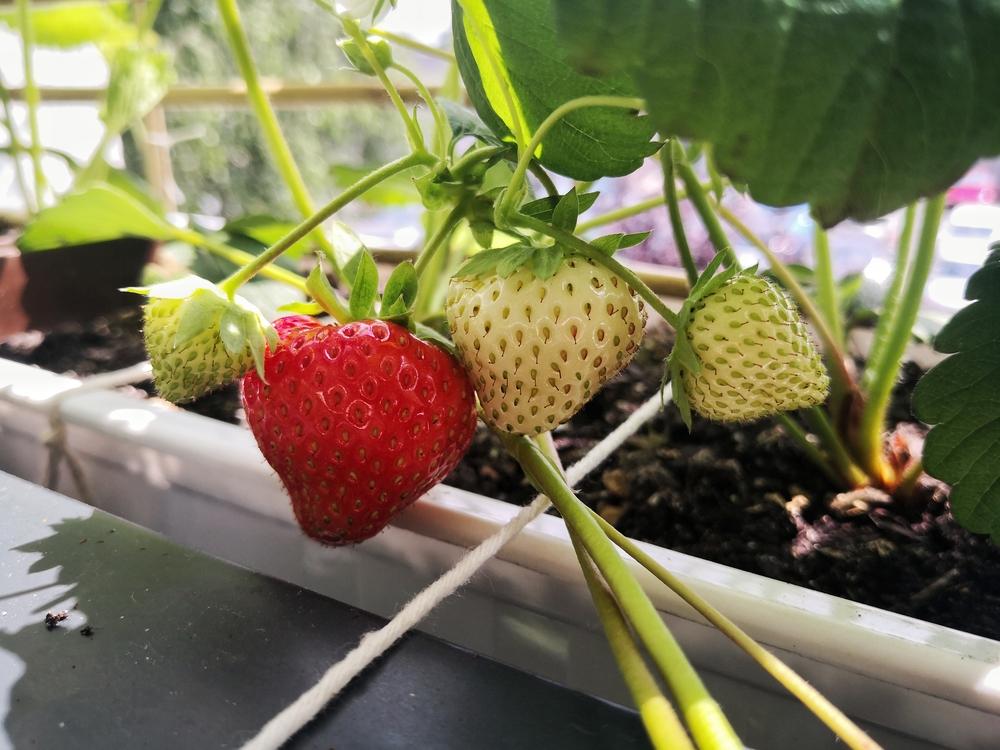 truskawki albion pierwsze dojrzewające owoce