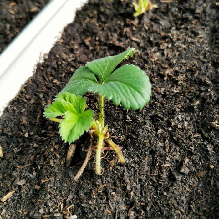 zielona sadzonka truskawki albion